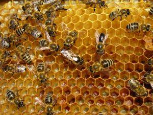 1 lebah-madu